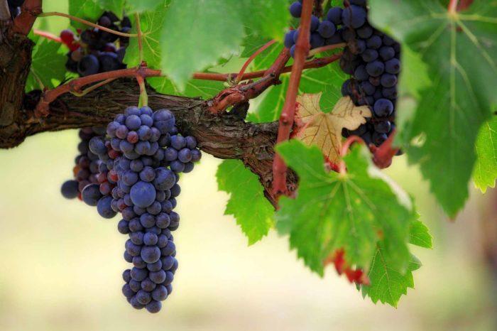 Fruit Grape Vines Wine Vineyard Vine Winery Food