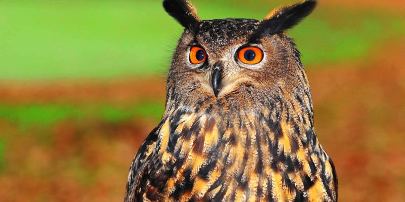 European eagle-owl bird