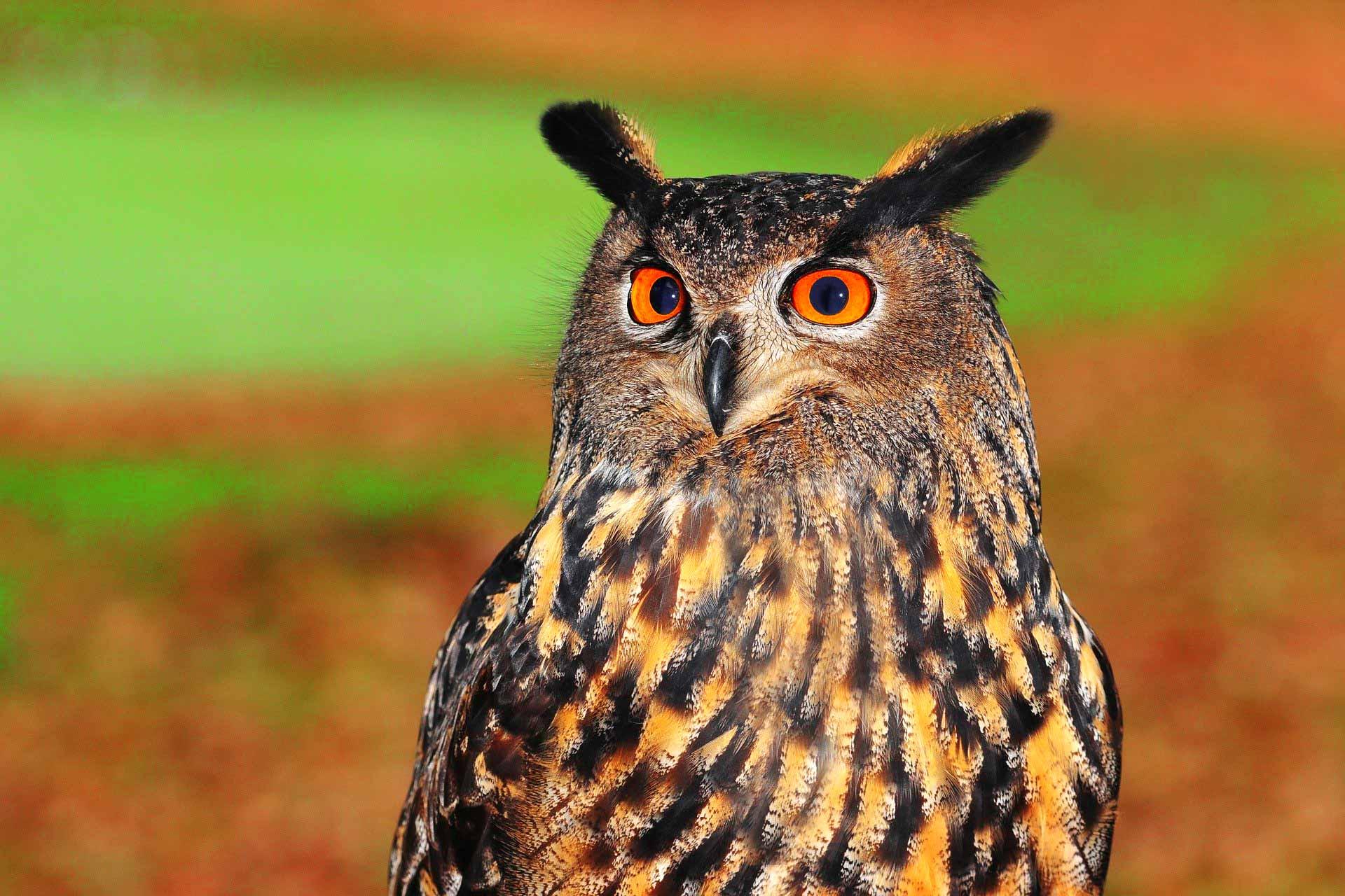 European eagle-owl bird
