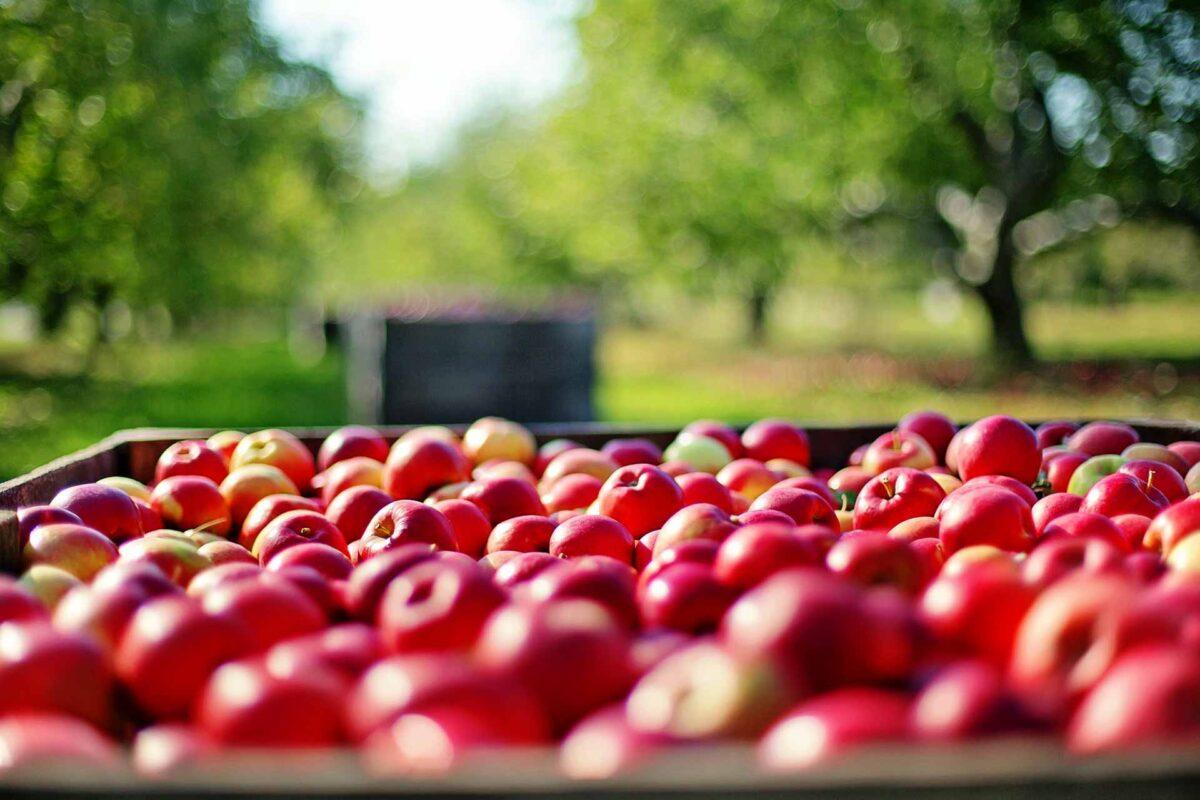 apples farm agriculture