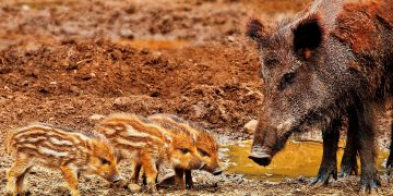 wild boar - African swine fever virus - pigs