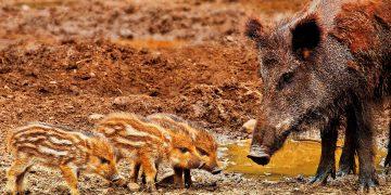 wild boar - African swine fever virus - pigs